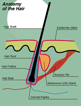 Anatomy of the hair